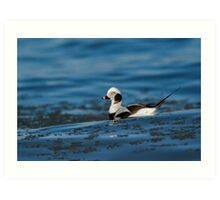 Long-tailed Duck Art Print