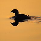 One Duck Reflection by lorilee