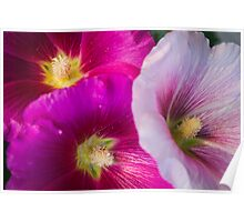 Pink Hibiscus Flowers Poster