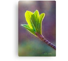 Spring at Last - Baby Siebold Viburnum Leaves Canvas Print
