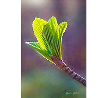 Spring at Last - Baby Siebold Viburnum Leaves Photographic Print