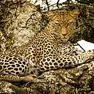 Leopard (Panthera Pardus), South Serengeti, Tanzania, Africa by Sue Ratcliffe