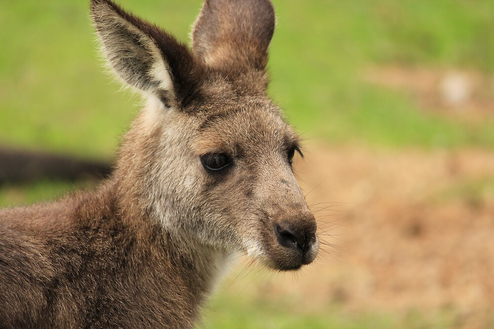 Grey Kangaroo by Chris Kean