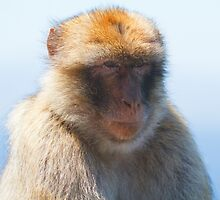 A Barbary Macaque close up In Gibraltar by Keith Larby