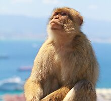 Barbary Macaque looking up In Gibraltar by Keith Larby