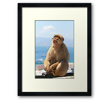 Barbary Macaque looking up In Gibraltar Framed Print