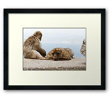 A pair of Barbary Macaques In Gibraltar Framed Print