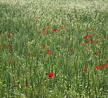 Poppy Field And Springtime Hay Meadow by taiche