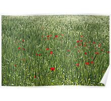 Poppy Field And Springtime Hay Meadow Poster