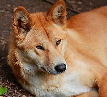 Dingo by Cameron B