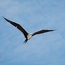 Juvenile Magnificent Frigatebird in Flight - Playas, Ecuador by Paul Wolf