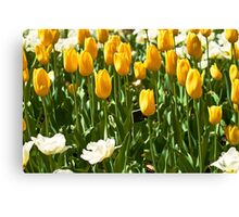 Yellow tulips Canvas Print