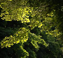 Sunlit Leaves by mlphoto