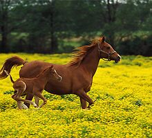 Baby Horse Running by SandraWidner