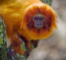 Golden Lion Tamarin or Golden Marmoset by mlphoto