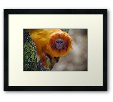 Golden Lion Tamarin or Golden Marmoset Framed Print
