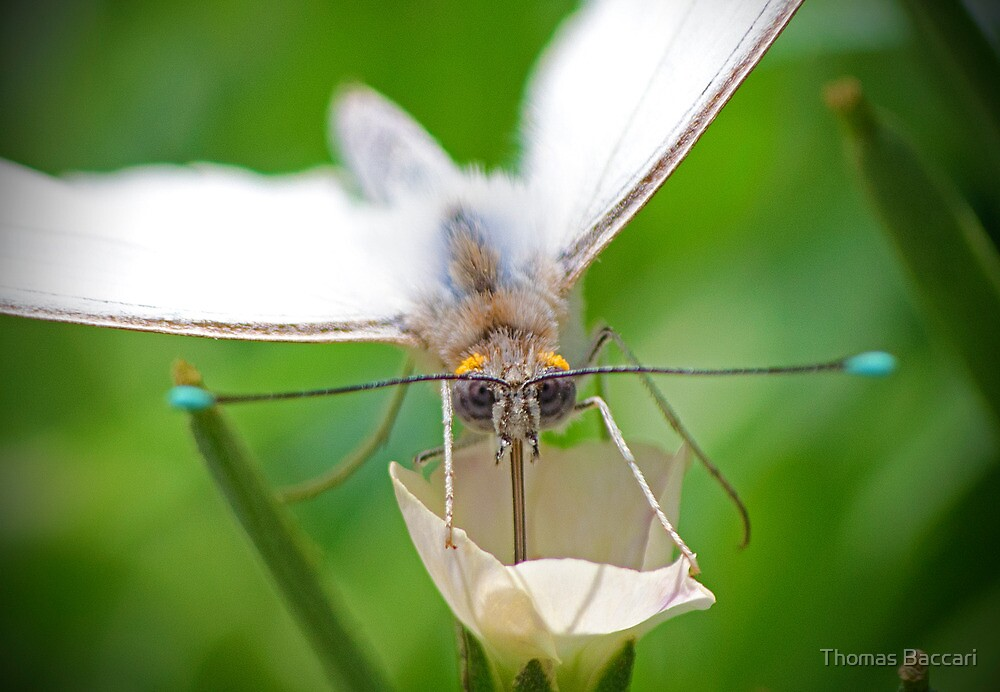 White butterfly on a white flower by Photography by TJ Baccari