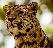 Leopard on High Alert by mlphoto