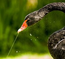 Black Swan Playing with Fountain by mlphoto