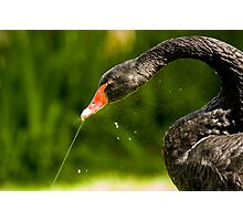 Black Swan Playing with Fountain Photographic Print