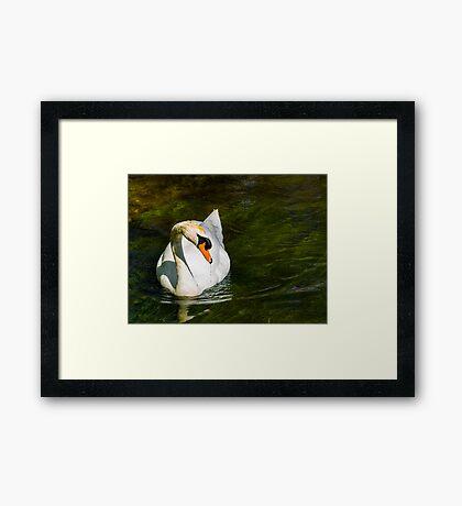 Mute Swan on Sparkling River Framed Print