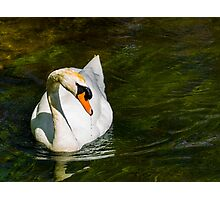 Mute Swan on Sparkling River Photographic Print