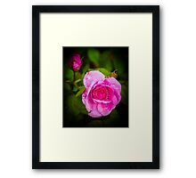 Pink Rose Hungerford England Framed Print