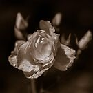 Sepia Rose by mlphoto