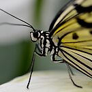 White butterfly macro by Nicole W.