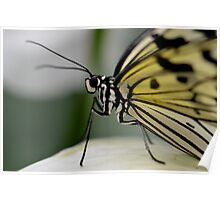 White butterfly macro Poster