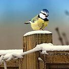 Winter Blue Tit by Lyn Evans