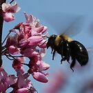Flying Carpenter Bee  by Sheryl Hopkins