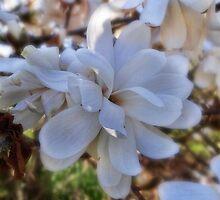 Magnolia by vigor