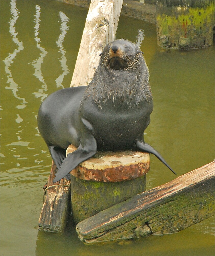 Seal Basking at Goolwa by peasticks
