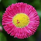 Bellis by Dipali S