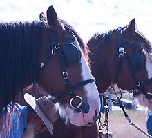 Clydesdales - getting hitched up for work by Deborah McGrath