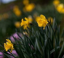 Yellow Daffodils by Michael  Kemp