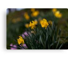 Yellow Daffodils Canvas Print