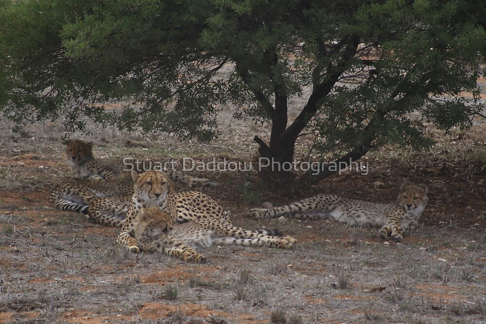 Lazy Cheetahs by Stuart Daddow Photography