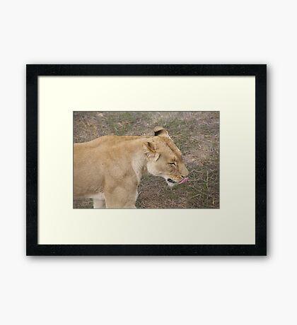 Lion Licking Lips Framed Print