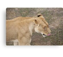 Lion Licking Lips Canvas Print