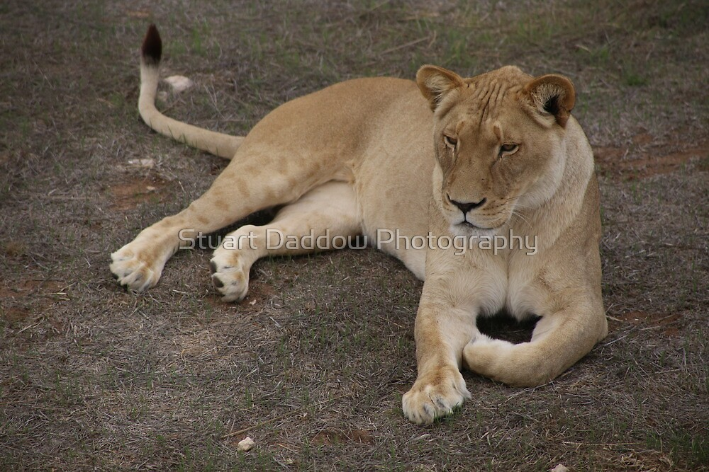 Don't Mess With The Lioness by Stuart Daddow Photography