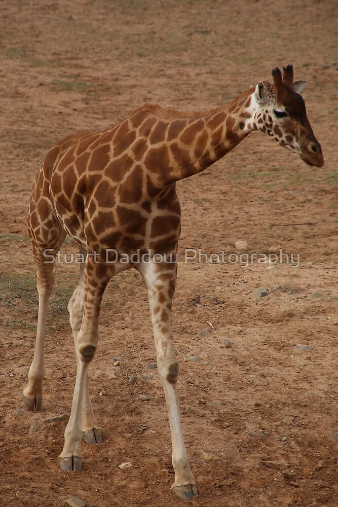 Giraffe Capers by Stuart Daddow Photography
