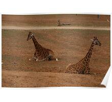 Lazy Giraffes Poster