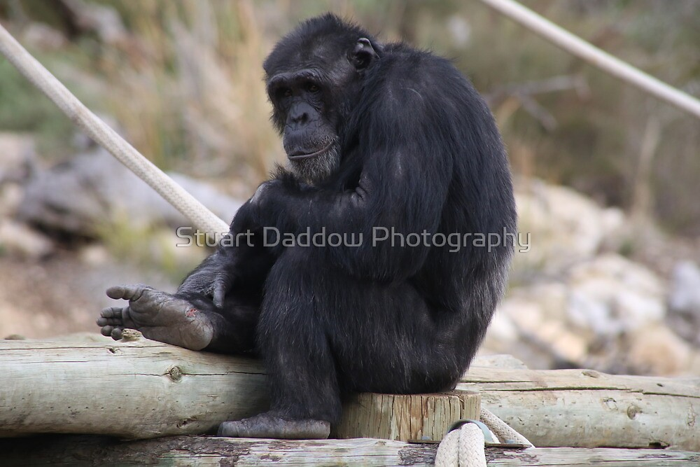 Chimp in Charge by Stuart Daddow Photography