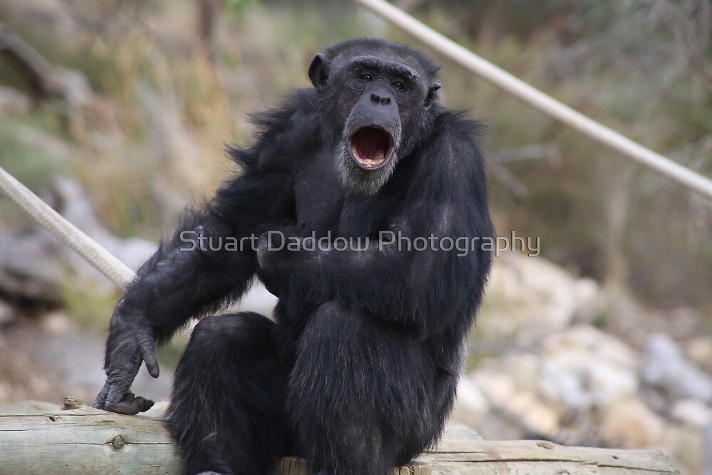 Singing Chimp by Stuart Daddow Photography
