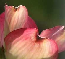 Petals of Pink by AngieDavies