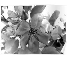 Black and White Blossoms Poster