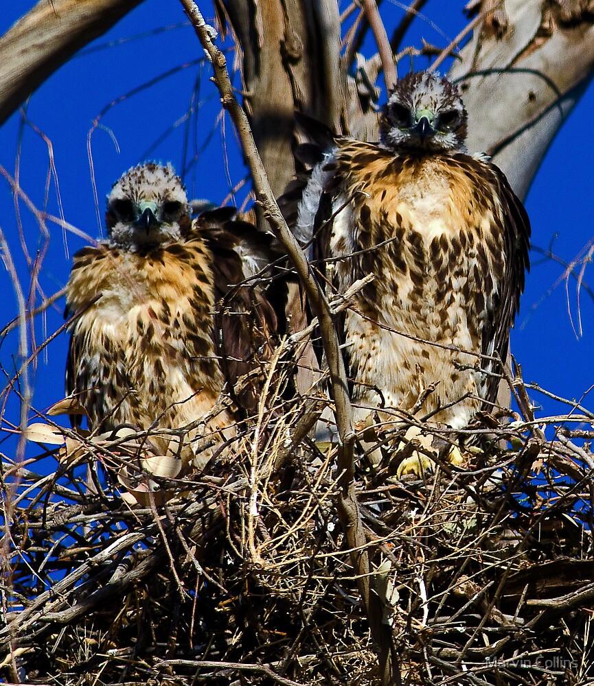 042713 Red Tailed Hawk Chicks by Marvin Collins