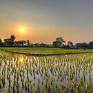 Ricefield Sunrise Chiang Rai by Duane Bigsby